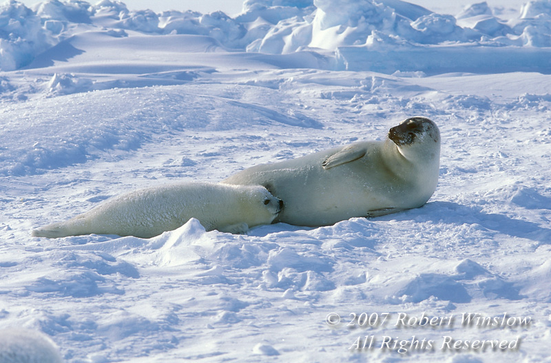 Mother and Nursing Baby Harp Seal Pup (Pagophilus groenlandicus) formerly known as (Phoca groenlandica), on Pack Ice, Gulf of St. Lawrence, Eastern Canada, Quebec