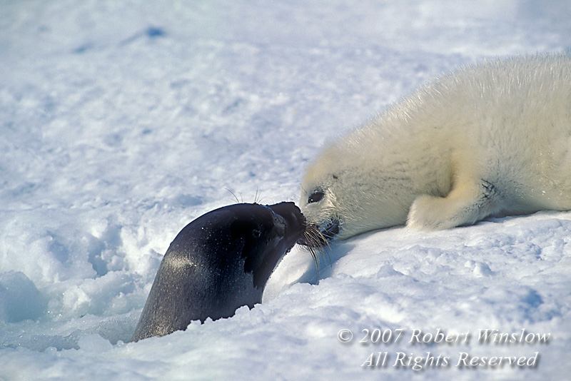 Female Harp Seal in Blow Hole Identifying Her Pup, (Pagophilus groenlandicus) formerly known as (Phoca groenlandica), on Pack Ice, Gulf of St. Lawrence, Eastern Canada, Quebec