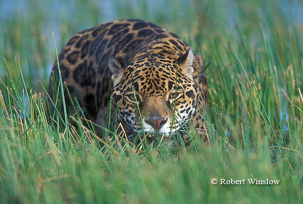 Jaguar (Panthera onca), Controlled Conditions