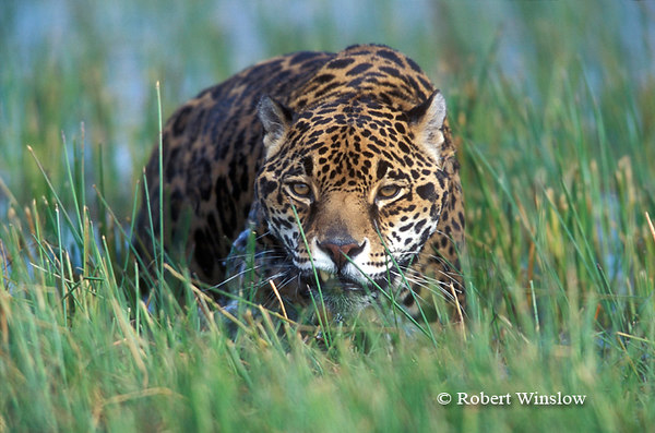 Jaguar (Panthera onca), Controlled Conditions