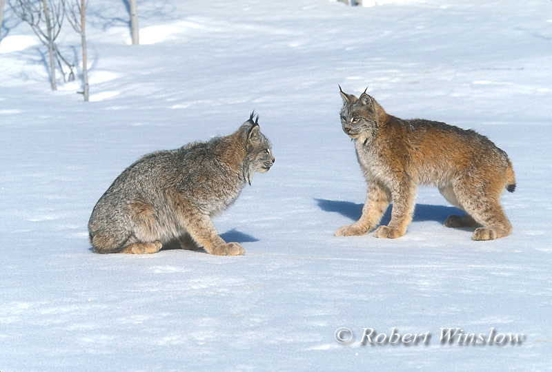 two, Lynx also called Canadian Lynx, Lynx canadensis, On Snow, Winter, controlled conditions