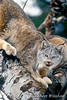 Lynx also called Canadian Lynx (Lynx canadensis) in a Tree, controlled conditions
