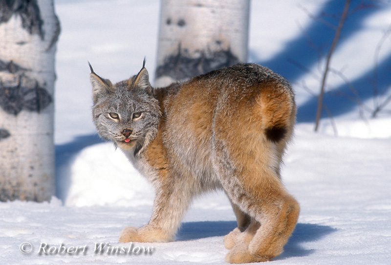 Lynx also called Canadian Lynx, Lynx canadensis, On Snow, Winter, controlled conditions