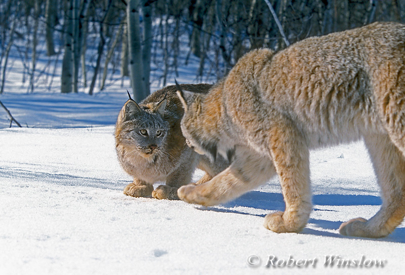 Two Lynx also called Canadian Lynx, Lynx canadensis, On Snow, Winter, controlled conditions