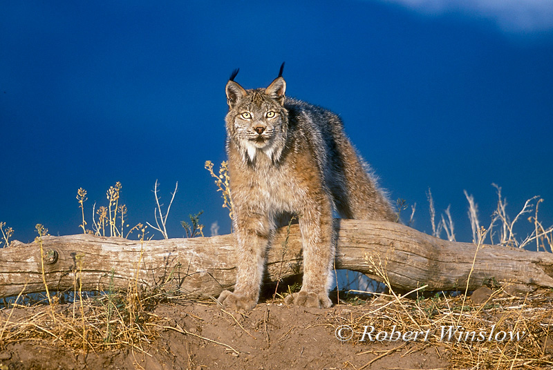Lynx also called Canadian Lynx (Lynx canadensis), controlled conditions