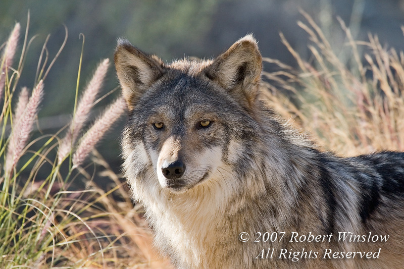 Mexican Wolf (Canis lupus baileyi), The Living Desert, Palm Desert, California, USA, North America