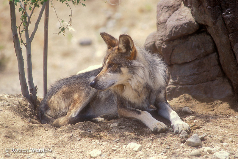 Mexican Wolf (Canis lupus baileyi), Living Desert Wildlife and Botanical Park, Palm Desert, California