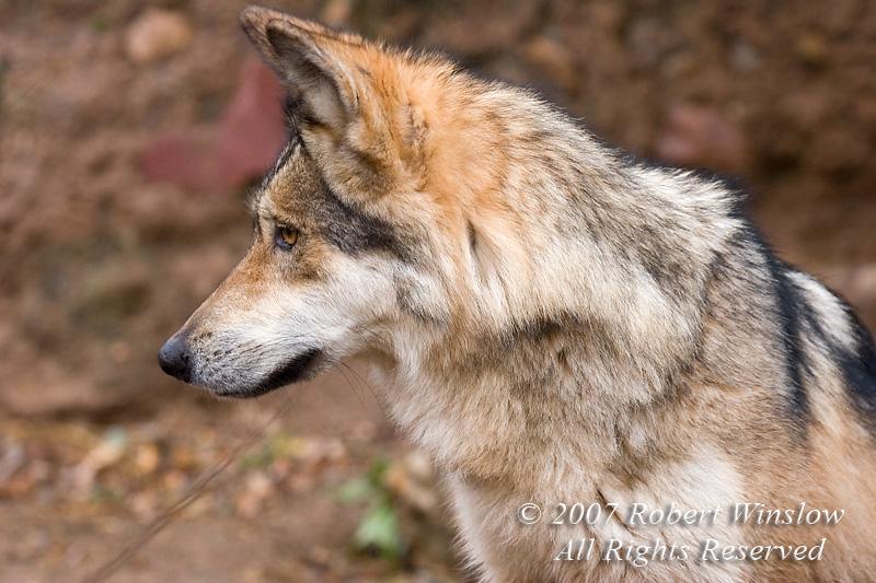 Mexican Wolf (Canis lupus baileyi), Arizona Sonora Desert Museum, Tucson, Arizona, USA, North America
