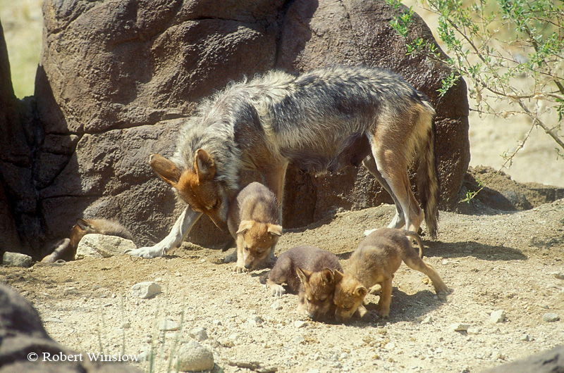 Mexican Wolf with Puppies (Canis lupus baileyi), Living Desert Wildlife and Botanical Park, Palm Desert, California
