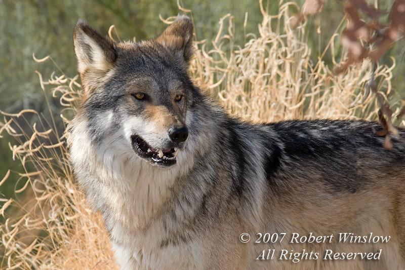Mexican Wolf (Canis lupus baileyi), The Living Desert, Palm Desert, California, USA, North America