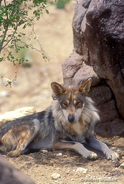 Mexican Wolf (Canis lupus baileyi), Living Desert Wildlife and Botanical Park, Palm Desert, California