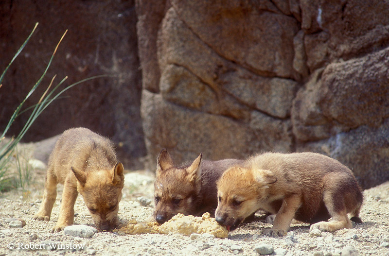 Mexican Wolf Pups (Canis lupus baileyi) Eating Regurgitated Food From Adult(Canis lupus baileyi), Living Desert Wildlife and Botanical Park, Palm Desert, California