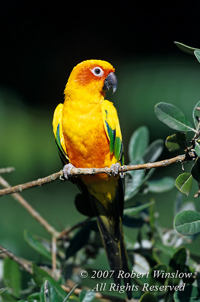 Sun Conure, Aratinga solstitialis, Parrot from Central  and N.E. South America