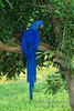 Hyacith Macaw, Anodorhyuchus hyacinthinus, Central South America, Endangered Species