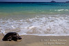 Green Sea Turtle on the Beach, Chelonia mydas, Las Baches, Galapagos Islands, Ecuador, South America, endangered species