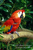 Scarlet Macaw, Ara macao, South Mexico, Central and South America, CITIES 1 species