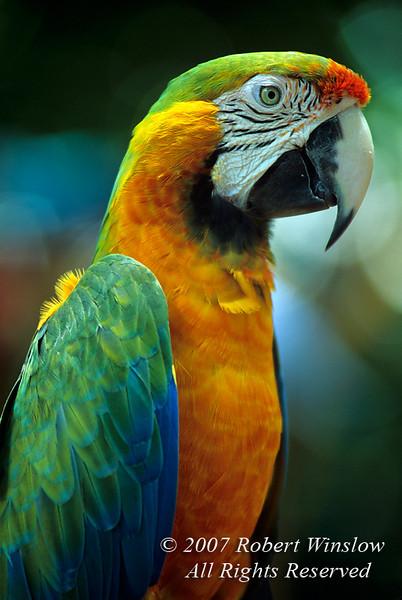 Blue and Yellow Macaw, Ara ararauna, South America