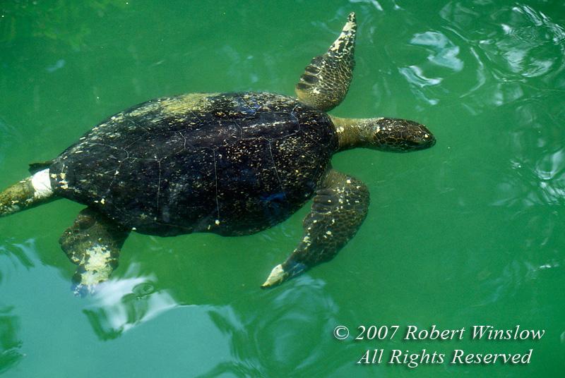 Green Sea Turtle Swimming, Chelonia mydas, Galapagos Islands, Ecuador, South America, endangered species