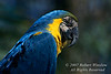 Blue and Yellow Macaw, Ara ararauna, South America