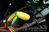 Keel-billed Toucan, Ramphastos sulfuratus, Costa Rica, Central America