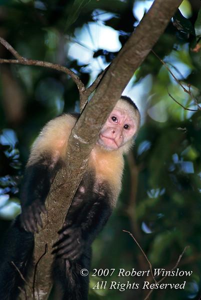 Capuchin Monkey in a tree, aka White-faced Monkey, White-headed Monkey, Organ Grinder Monkey, Cebus capucinus, Manuel Antonio National Park, Costa Rica, Central America