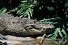 Morelet's Crocodile, Crocodylus moreletii, Zoo Image, Animal found in Belize, Guatemala, Mexico