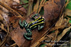 Poison Arrow Frog, Also called Poison Dart Frog, Dendrobatidae family, Amazon Basin Rain Forest, Ecuador, South America