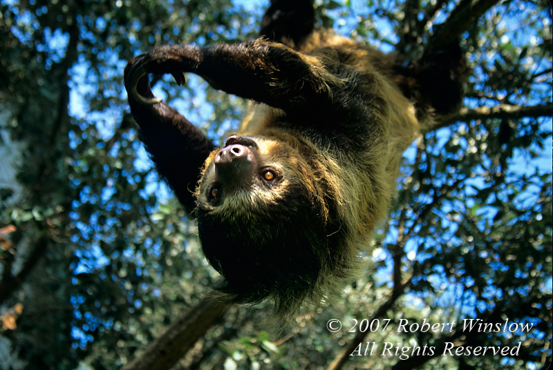 Two-Toed Sloth (Choloepus didactylus), Amazon Basin to Central America, Controlled Conditions