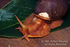 Giant Amazon Land Snail, Gastropoda spp., Amazon Basin Rain Forest, Ecuador