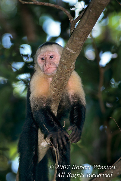 Capuchin Monkey in a tree, aka White-faced Monkey, White-headed Monkey, Organ Grinder Monkey, Cebus capucinus, Manuel Antonio National Park, Costa Rica, Central America