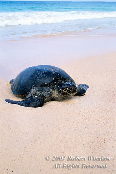 Green Sea Turtle coming out of the water onto the beach, Chelonia mydas, Las Baches, Galapagos Islands, Ecuador, South America, endangered species