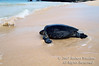 Green Sea Turtle on the beach, Chelonia mydas, Galapagos Islands, Ecuador, South America, endangered species
