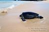 Green Sea Turtle on the beach, Chelonia mydas, Galapagos Islands, Ecuador, South America, endangered species