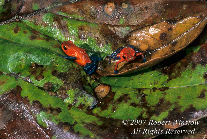 Strawberry Poison-dart frog, aka Poison Arrow Frog, aka Blue Jeans Poison Arrow Frog, Dendrobates pumilio, aka Oophaga pumilio, Rain Forest Vegetation, Lake Coter Eco Lodge, Private Biological Reserve, Northern Pacific Mountains, Arenal Lake Region, Costa Rica, Central America
