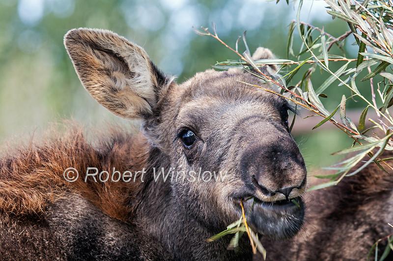 Young Baby Moose, Alces alces shirasi, in temporary foster home, Idaho, USA,  North America