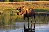 Bull Moose, Alces alces, Standing in a Pond, Grand Teton National Park, Wyoming, USA, North America