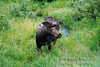 Bull Moose, Alces alces, Katami National Park, Alaska, USA, North America