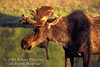 Bull Moose, Alces alces, Grand Teton National Park, Wyoming, USA, North America