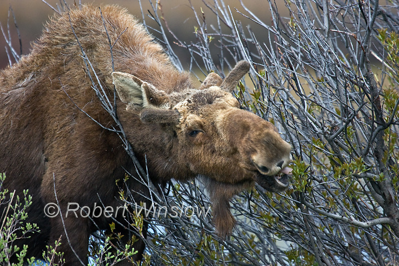 Bull Moose, Alces alces, Browsing on Willows in early Spring, Grand Teton National Park, Wyoming, USA, North America