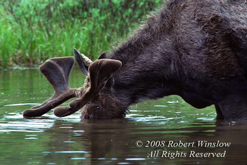 Bull Moose, Alces alces, Yellowstone National Park, Wyoming, USA, North America