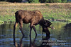 Bull Moose, Alces alces, Drinking Water, Evening, Grand Teton National Park, Wyoming, USA, North America