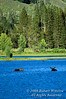 Three Moose in Snake River, Alces alces, Grand Teton National Park, Wyoming, USA, North America