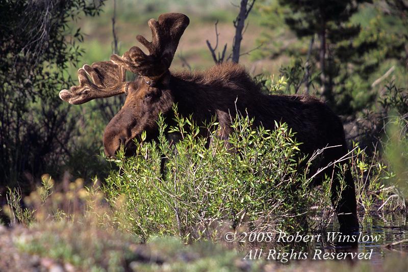 Bull Moose, Alces alces, Grand Teton National Park, Wyoming, USA, North America