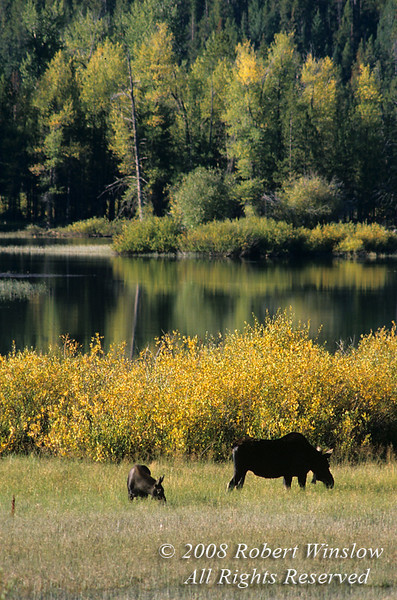 Mother and Baby Moose, Alces alces, Snake River, Grand Teton National Park, Wyoming, USA, North America