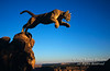 Mountain Lion (Felis concolor) Jumping off of a Rock, Canyon Country, Utah, Sunrise, controlled conditions