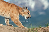 Six and half month old, Mountain Lion, Kitten, Felis concolor, controlled conditions