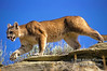 Mountain Lion (Felis concolor), controlled conditions