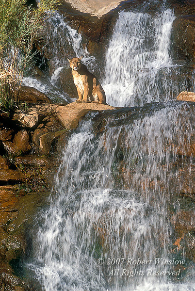 Mountain Lion By a Waterfall Southeast Utah (Felis concolor), controlled conditions