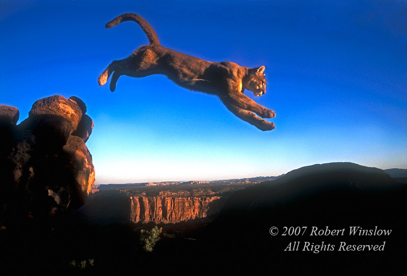 Mountain Lion (Felis concolor) Jumping, Southestern Utah, controlled conditions