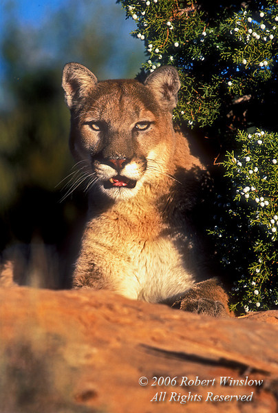 Mountain Lion, Felis concolor, controlled conditions